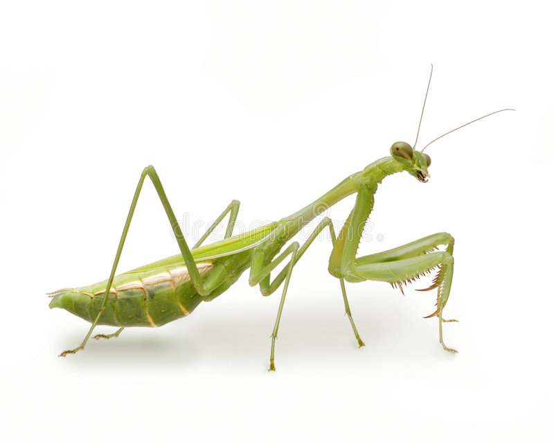 Preying Mantis Insect. Preying Mantis on white background royalty free stock photography