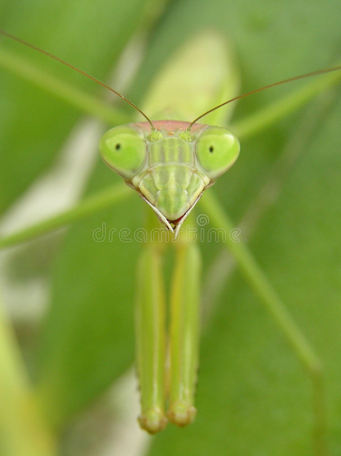 Download Preying mantis stock photo. Image of preying, face, natural - 35560