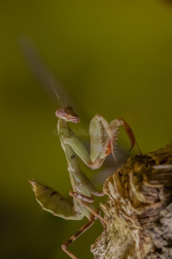 Preying Mantis stock image