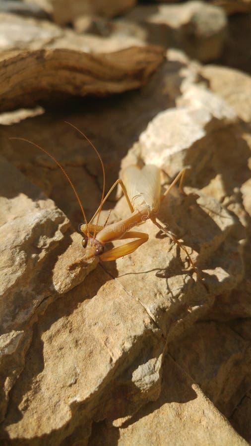 Preying mantis stock photo