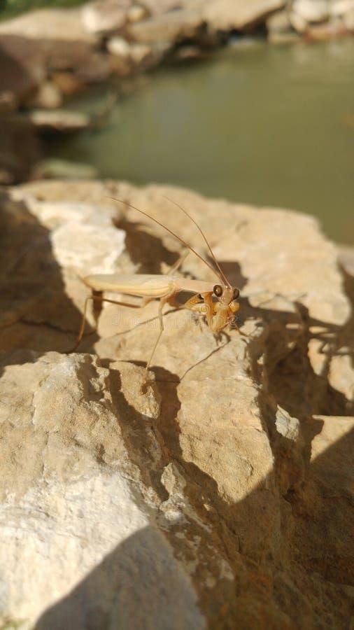 Preying mantis stock photos