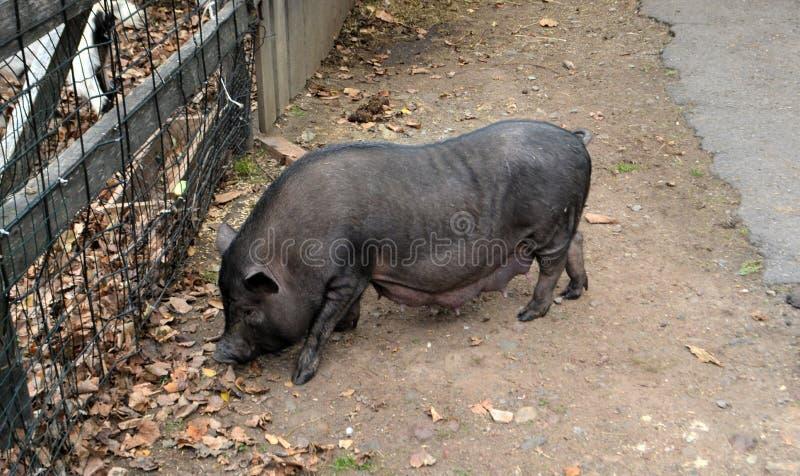 Priamurskogo uno zoo nominato dopo la V P Sysoev fotografia stock