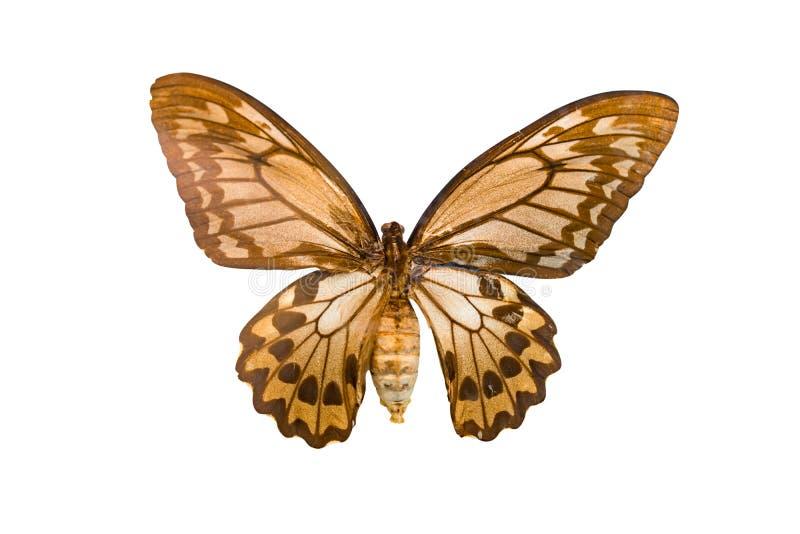 Priamus gigante di Ornithoptera della farfalla isolato su fondo bianco immagine stock