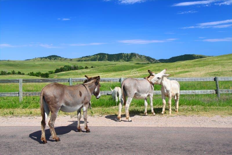Priant des Burros - stationnement d'état de Custer photographie stock libre de droits