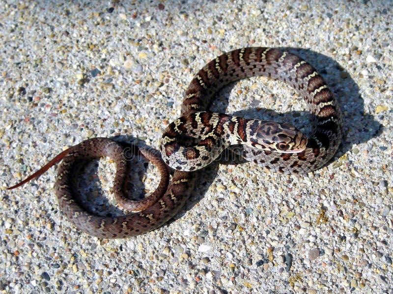 Priapus do sul juvenil do constrictor do coluber da serpente do piloto preto foto de stock