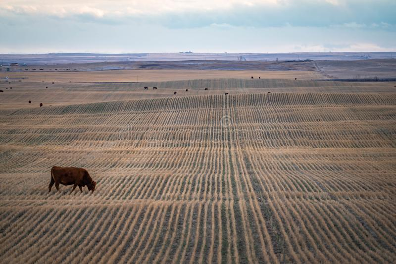Priarie rolny pole z krowy pasaniem na zbierającej ziemi obrazy royalty free
