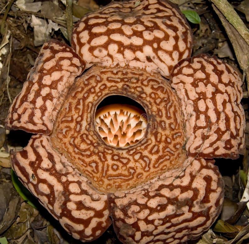 Pricei di Rafflesia fotografia stock libera da diritti
