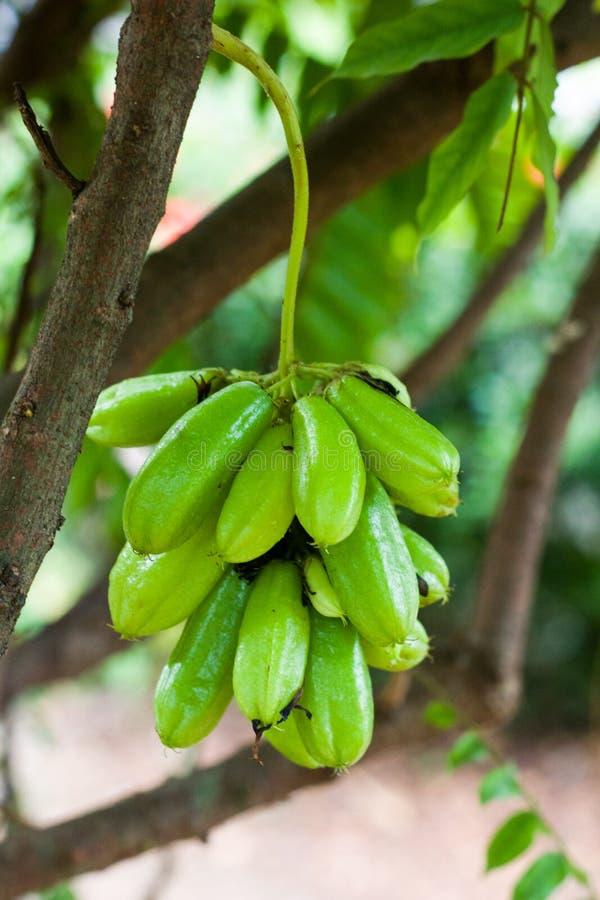 Prickelnsternapfel tragen für gesundes und Vitamin C Früchte stockfoto