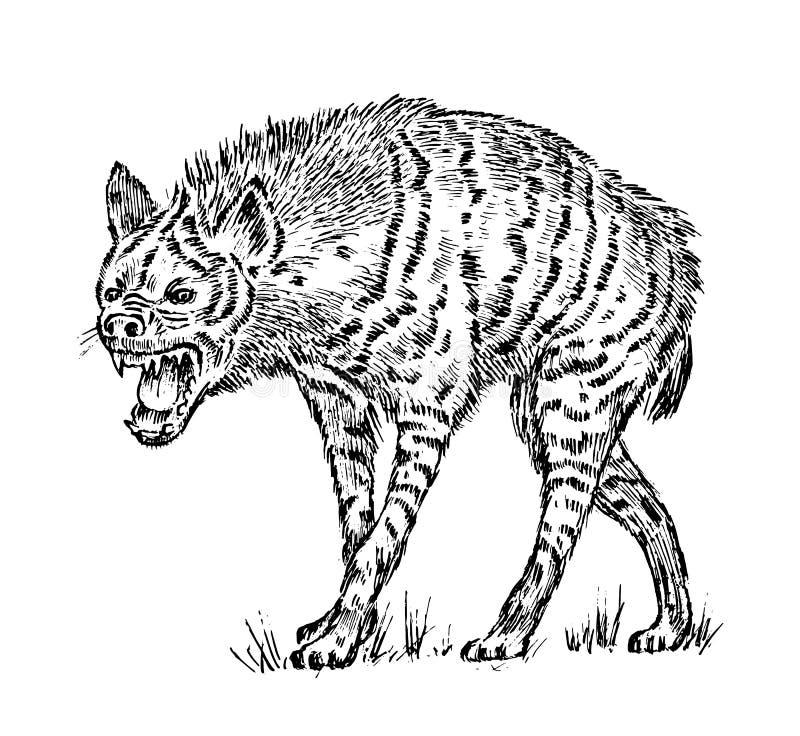 prickig afrikansk hyena wild djur Inristad handen dragen gammal monokrom tappning skissar vektor illustrationer
