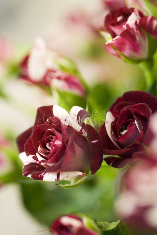 prickig blommarose arkivbild