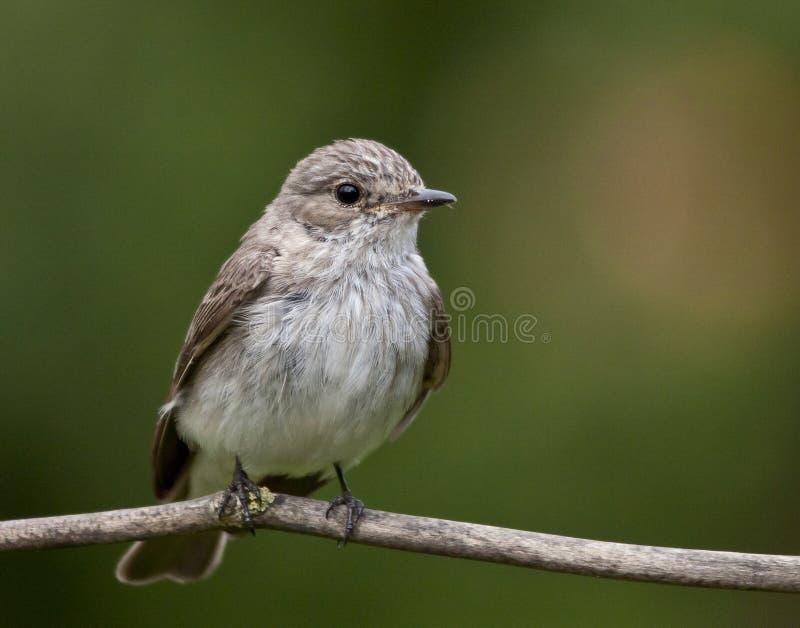 prickig flycatcher royaltyfri foto