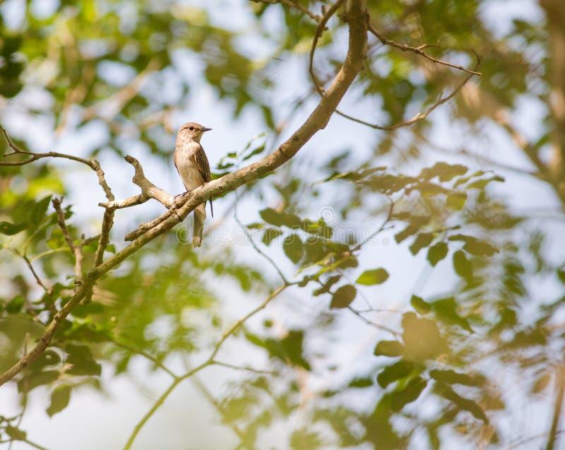 prickig flycatcher arkivfoton