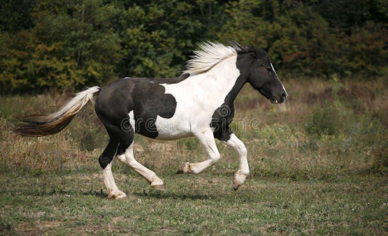 Prickig häst som galopperar i fältet arkivbild