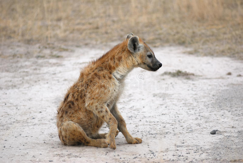 prickig hyena arkivfoto