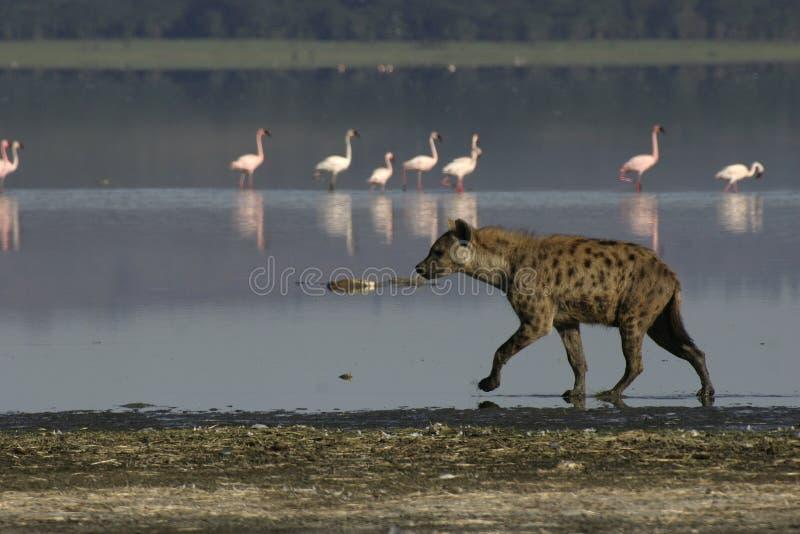 prickig hyena royaltyfria foton