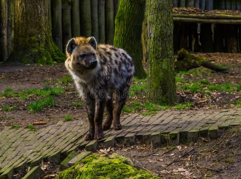 Prickig hyena i closeupen, k?tt?tande d?ggdjur fr?n ?knarna av Afrika arkivfoto