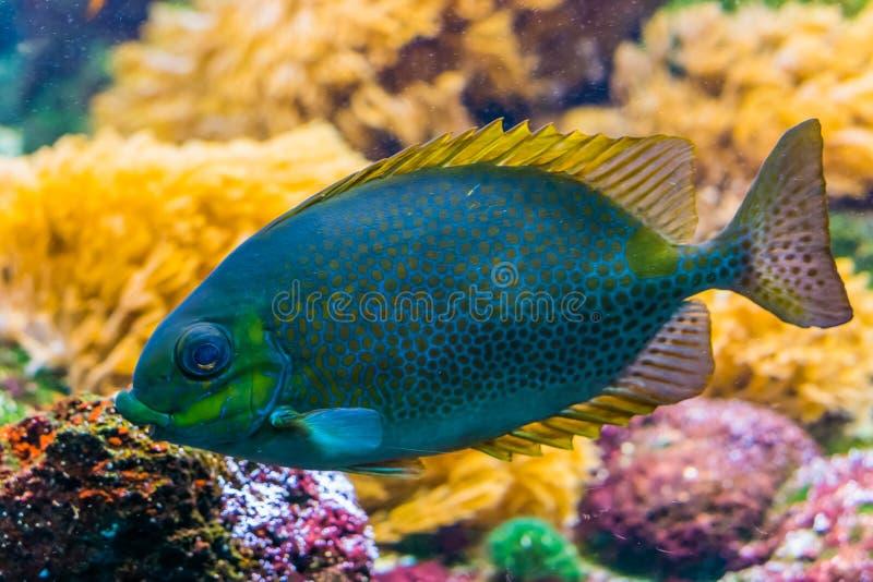 Prickig kaninfisk för apelsin i closeupen, färgrikt tropiskt akvariumhusdjur, exotisk djur specie från detStillahavs- havet fotografering för bildbyråer