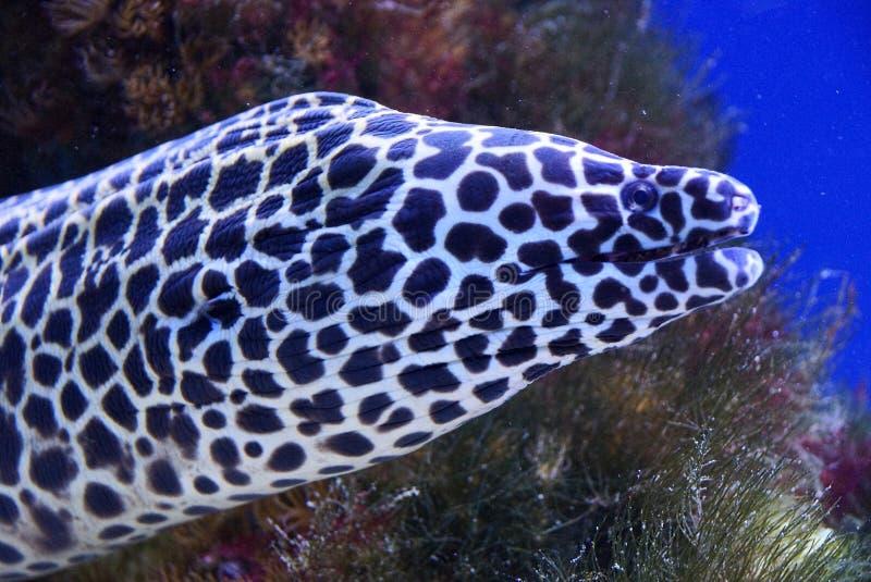 Prickig morayål på djupet av oceanariumen royaltyfria bilder