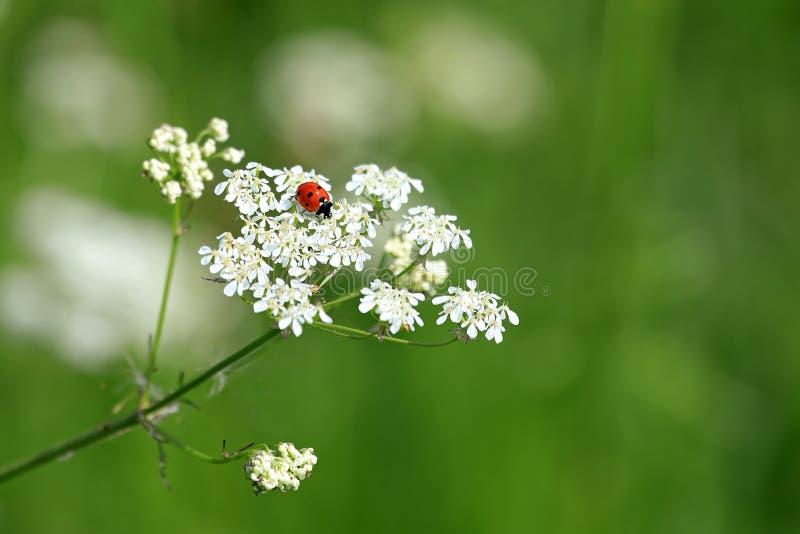 Prickig nyckelpiga sju på vita blommor royaltyfri bild