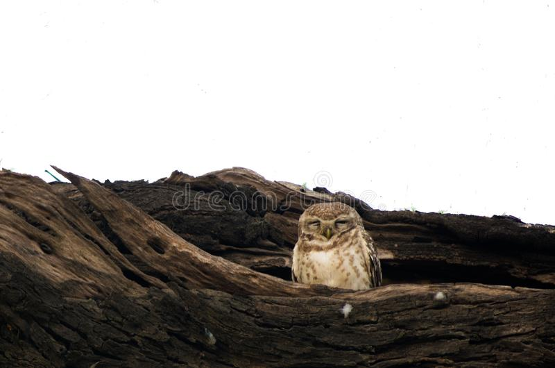 prickig owl royaltyfri bild