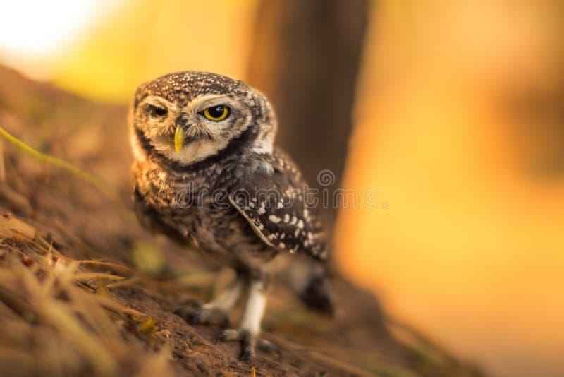 prickig owlet royaltyfria foton