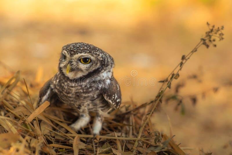 prickig owlet arkivfoton