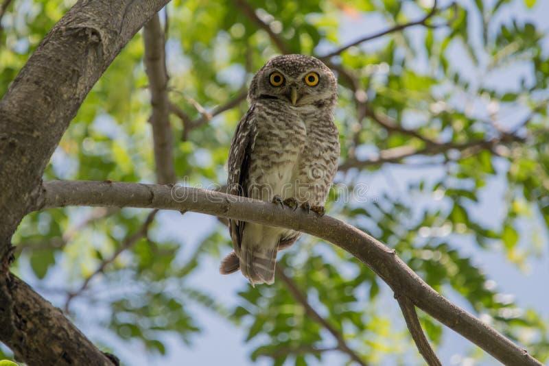 prickig owlet royaltyfri foto