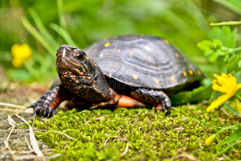 Prickig sköldpadda arkivbilder