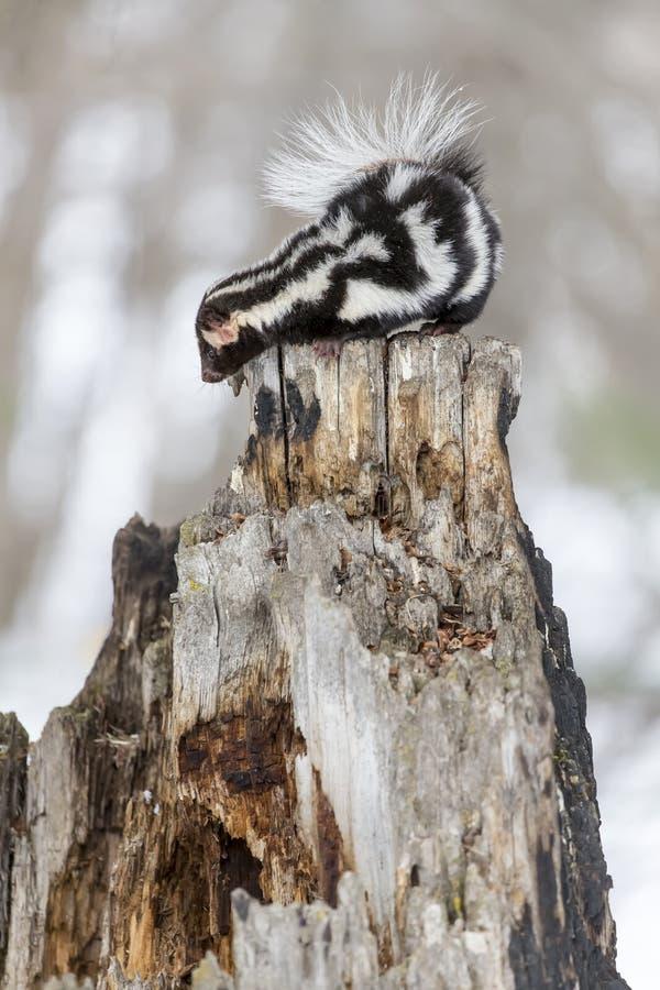 Prickig skunk i snön arkivfoton