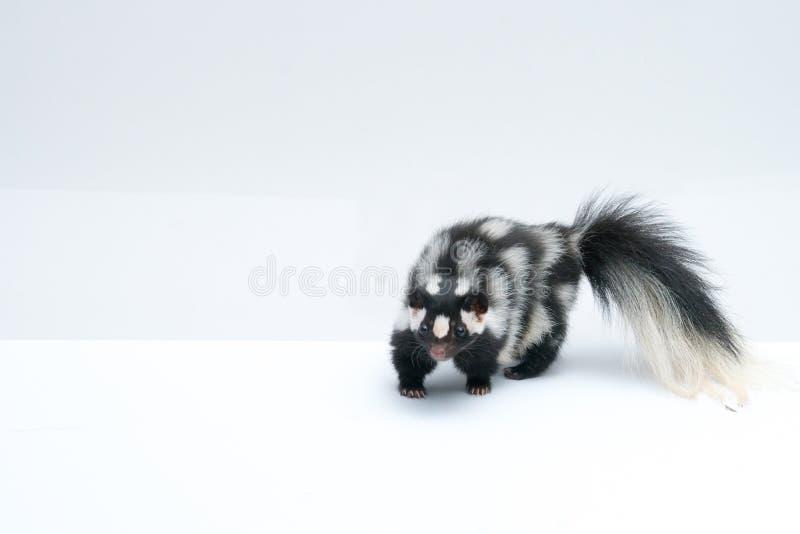 Prickig skunk på vit bakgrund royaltyfri foto