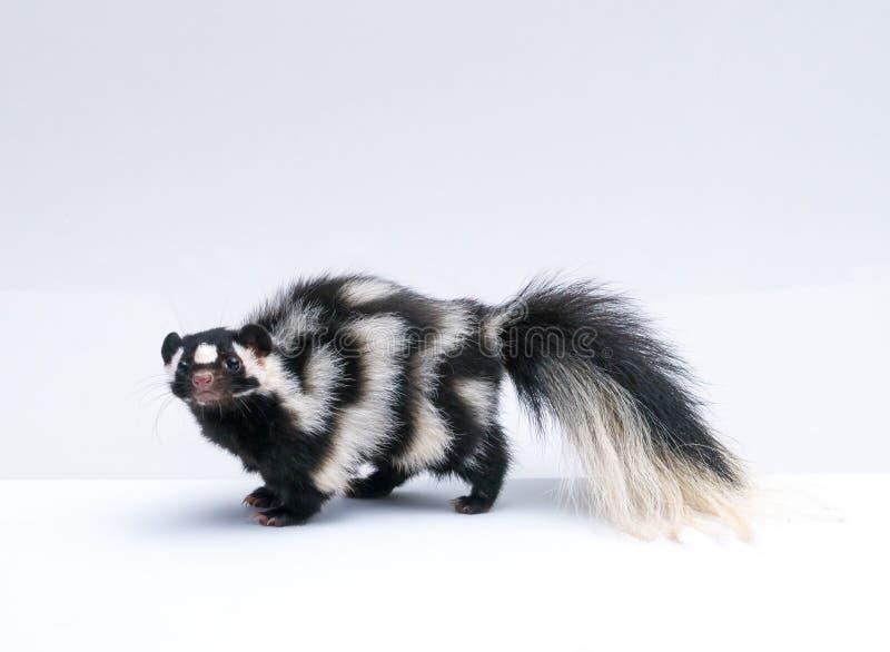 Prickig skunk på vit bakgrund arkivbilder