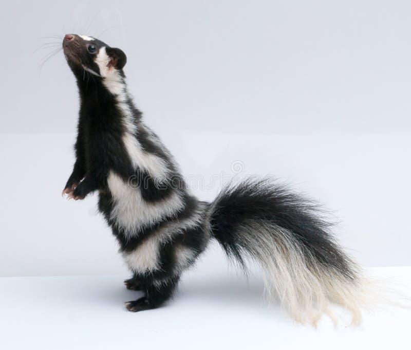 Prickig skunk som är stående upp på vit bakgrund arkivfoton