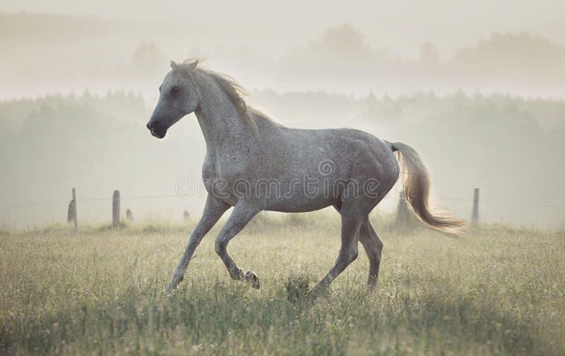 Prickig spring för vit häst till och med ängen royaltyfria bilder