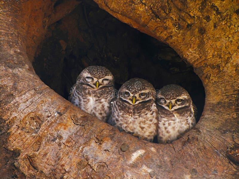 Prickig uggleunge, Athenebrama, Bandhavgarh Tiger Reserve, Madhya Pradesh, Indien royaltyfri foto