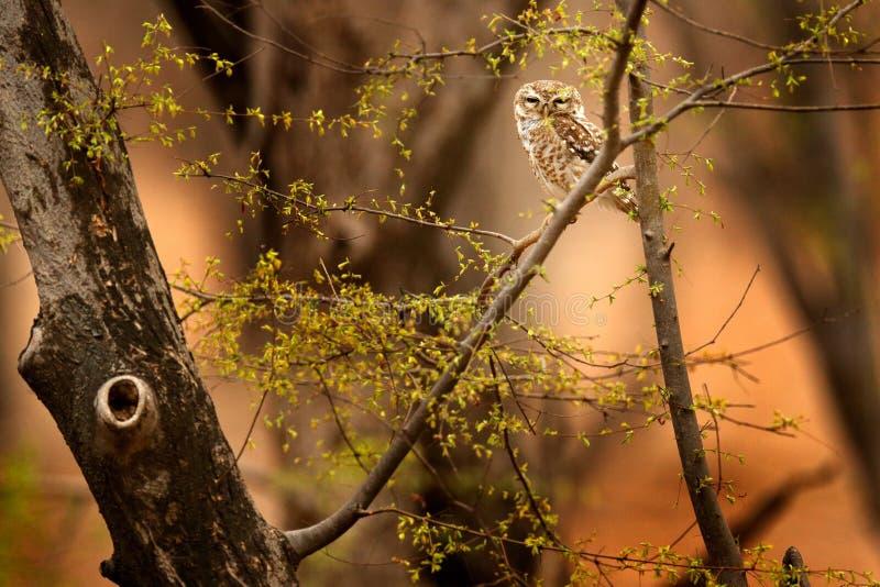 Prickig uggleunge, Athenebrama, sällsynt fågel från Asien Malaysia härlig uggla i naturskoglivsmiljön Fågel från Indien Fiskuggla arkivfoton