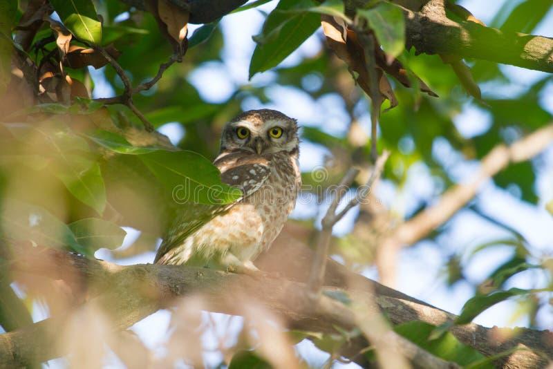 Prickig uggleunge som sätta sig på ett tätt grönt träd i djungeln royaltyfria foton