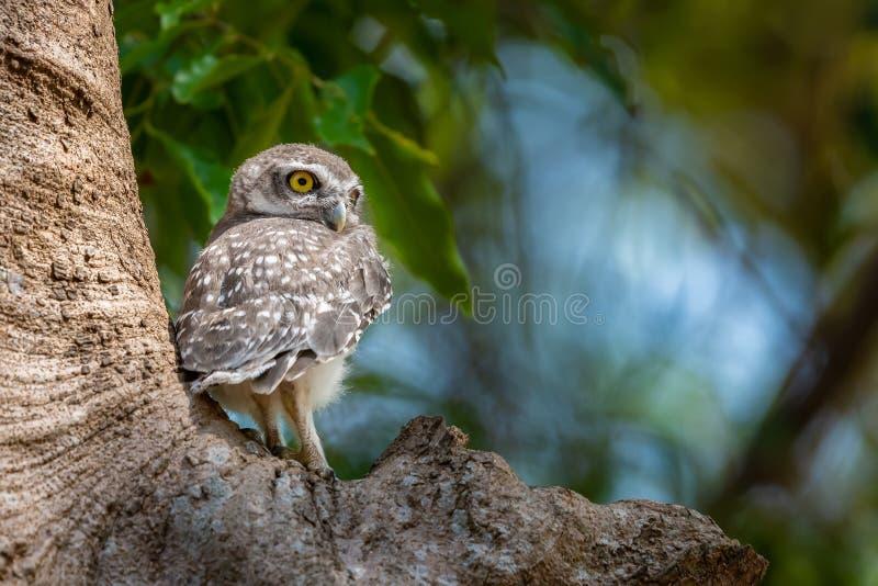 Prickig uggleungefågelunge som sätta sig på trädet som ser in i avstånd royaltyfri foto