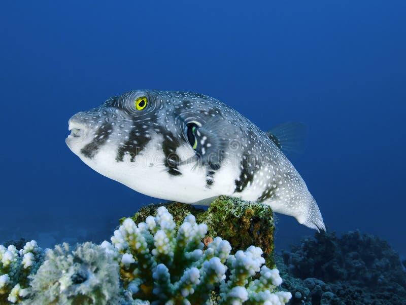prickig white för korallfiskpuffer royaltyfria bilder