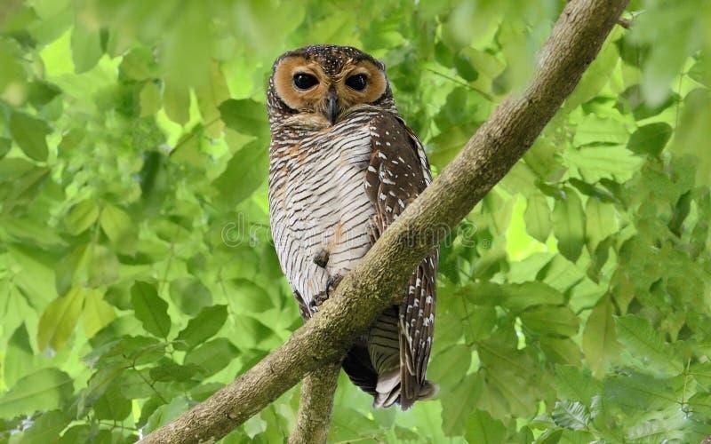 Prickig Wood Owl arkivfoto