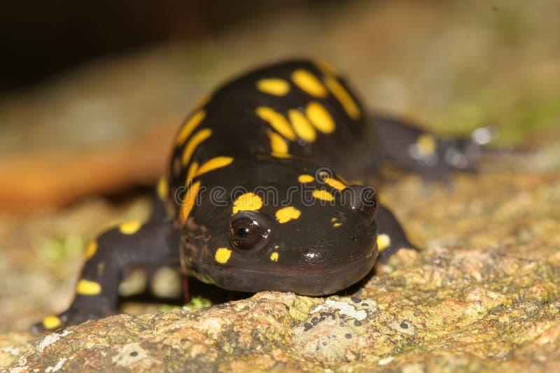 prickig yellow för haliburtonontario salamader arkivbild