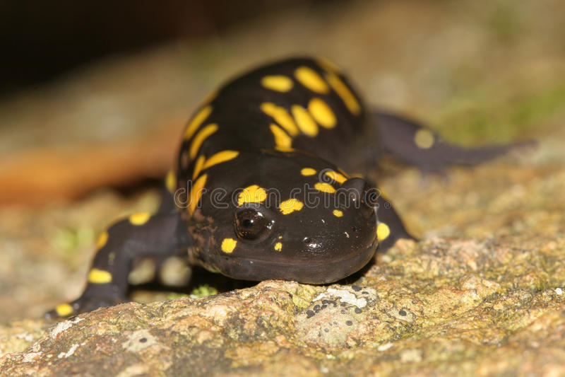 prickig yellow för salamander royaltyfri bild
