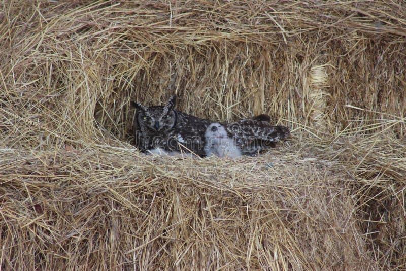 Prickiga Eagle Owl med fågelungar arkivbilder