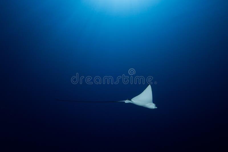 Prickiga Eagle Ray - Aetobatusocellatus - simning nedanför solen royaltyfri bild