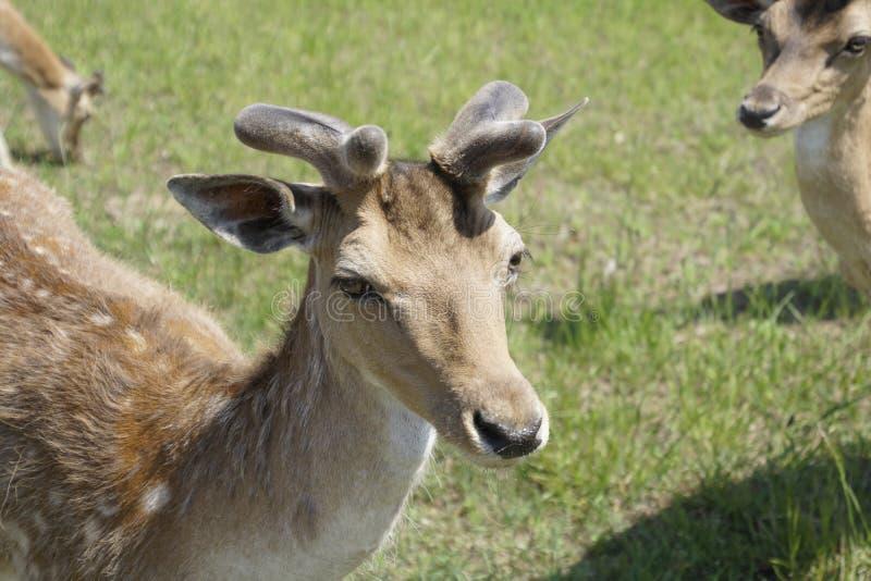 Prickiga hjortar betar p? f?ltet V?r kunna solig dag wild djur Traskat och horned royaltyfria bilder