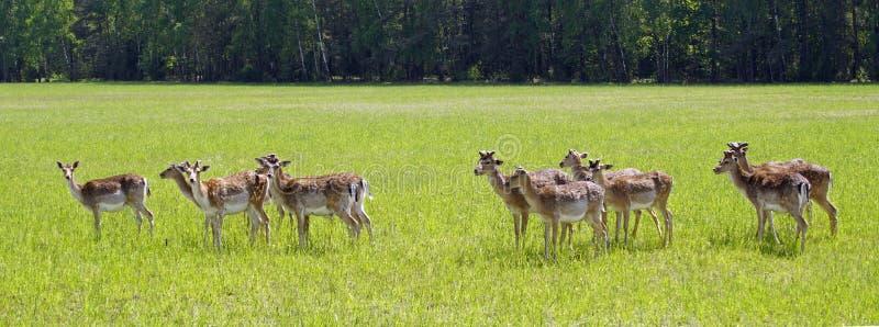 Prickiga hjortar betar p? f?ltet V?r kunna solig dag wild djur Traskat och horned royaltyfri fotografi