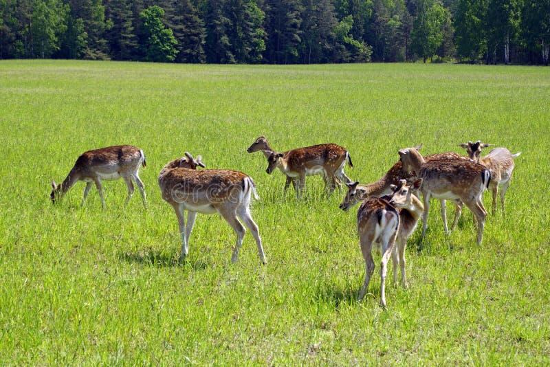Prickiga hjortar betar p? f?ltet V?r kunna solig dag wild djur Traskat och horned royaltyfri bild