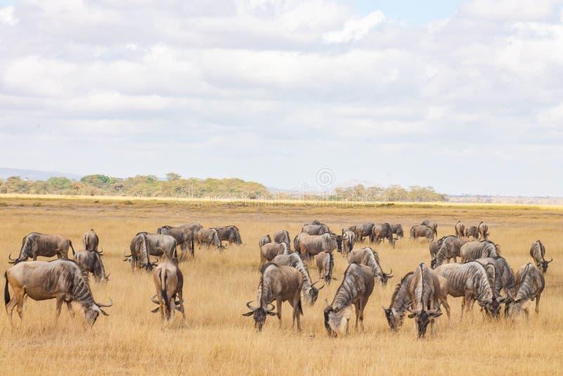 Prickigt beta för gnu i vildmarken arkivfoto