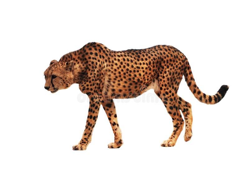 Prickigt för gepard som isoleras på vit royaltyfria foton