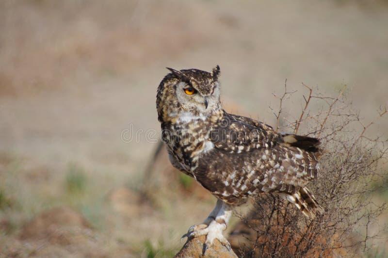 Prickigt uddeEagle Owl sammanträde vaggar på arkivfoton