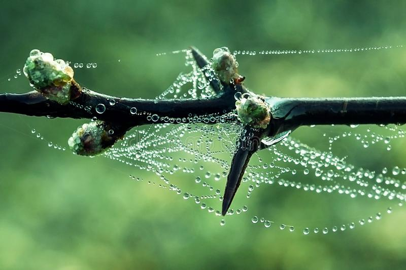 Prickly branch in the morning dew royalty free stock photography